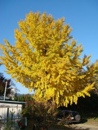 ichou_tree.jpg